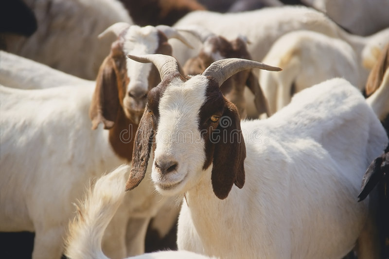 Download Domestic Goat stock photo. Image of agriculture, africa - 7393858