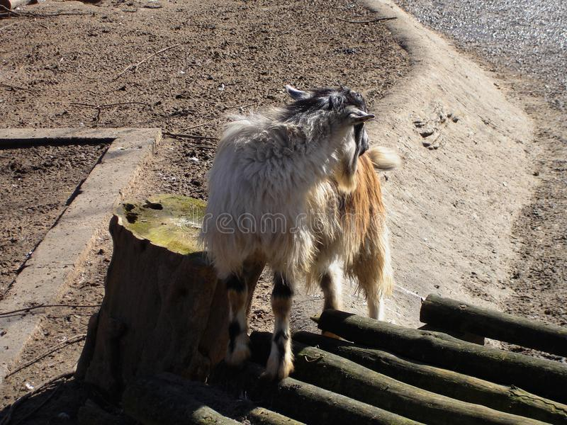 Domestic goat. In a summer day. Domestic animal royalty free stock photos