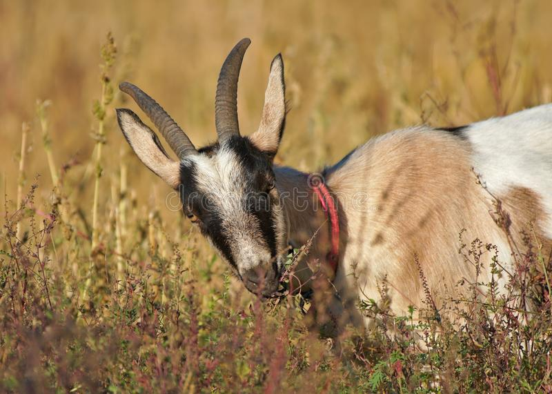 Domestic goat eating grass in a field stock images