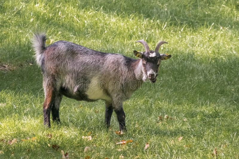 Domestic goat on a meadow. Portrait royalty free stock photo