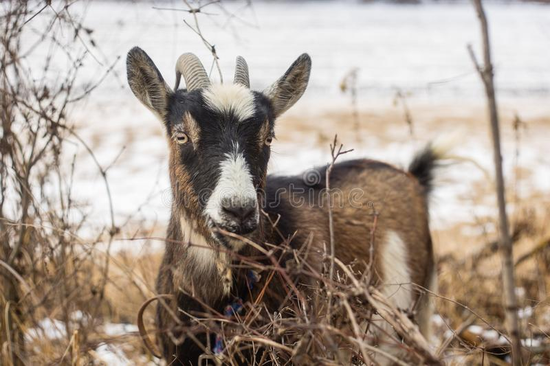 Domestic goat portrait at winter stock photography
