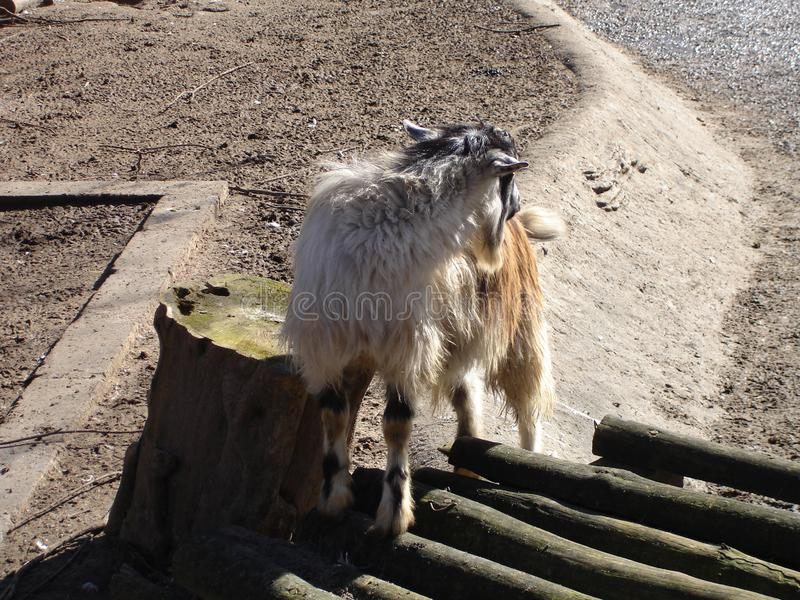 Domestic goat. In a summer day. Domestic animal stock image