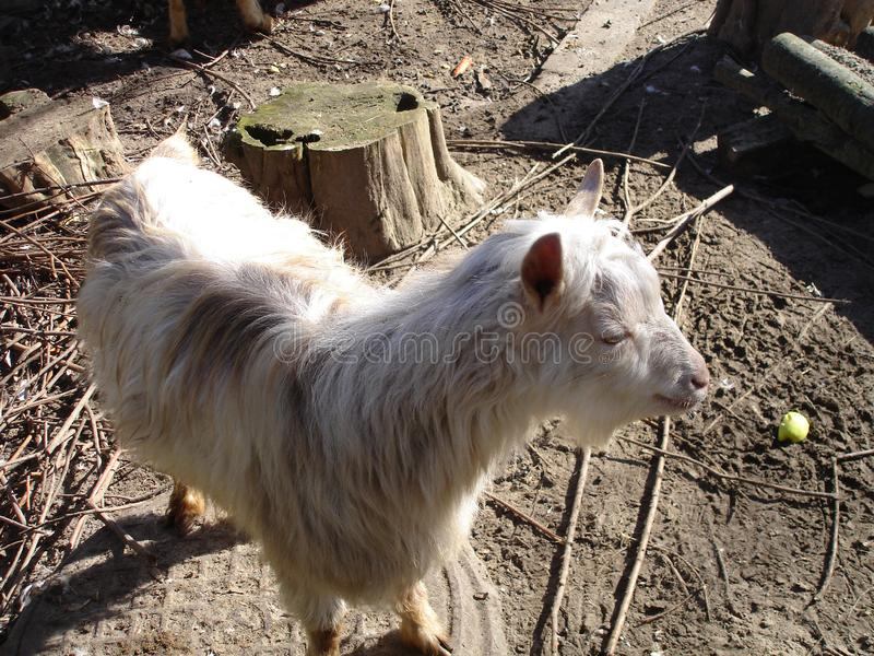Domestic goat. In a summer day. Domestic animal royalty free stock images