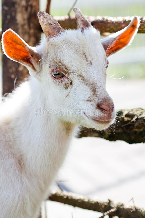 Download Domestic goatling stock photo. Image of goat, domestic - 26908246