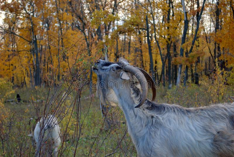 Domestic goats graze in the autumn forest. royalty free stock photos