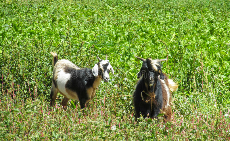 Domestic goats in the field royalty free stock photos