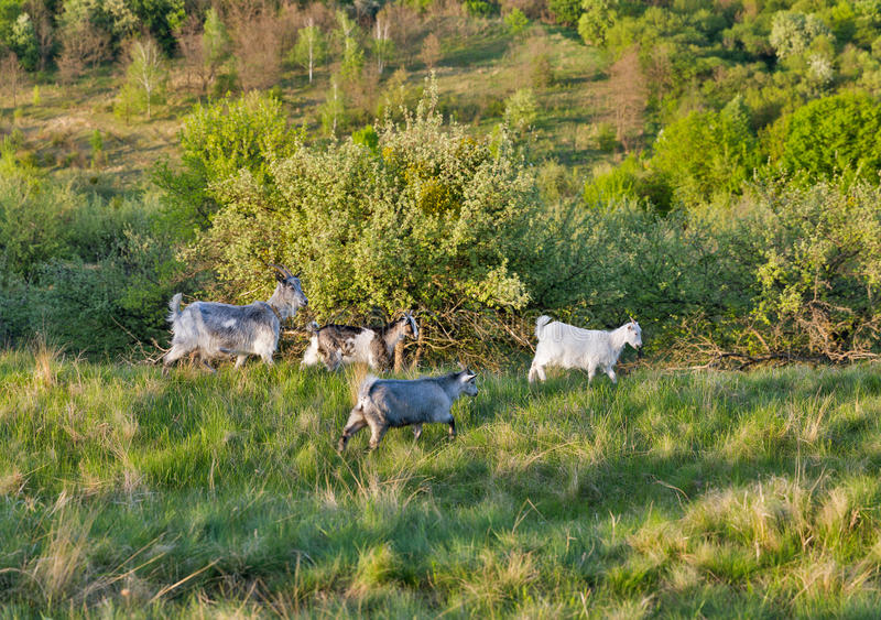 Domestic goats in a pasture spring orchard. Central Ukraine royalty free stock image