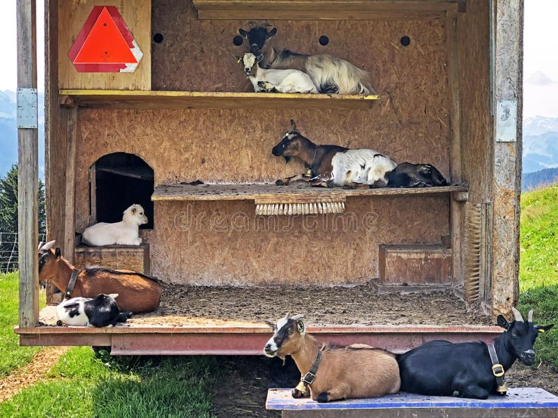 Domestic goats in a wooden cottage with climbing shelves, Willerzell stock photo