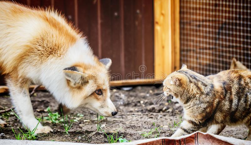 Domestic golden fox in conflict with domestic cat. In enclosure. Selective focus royalty free stock photos