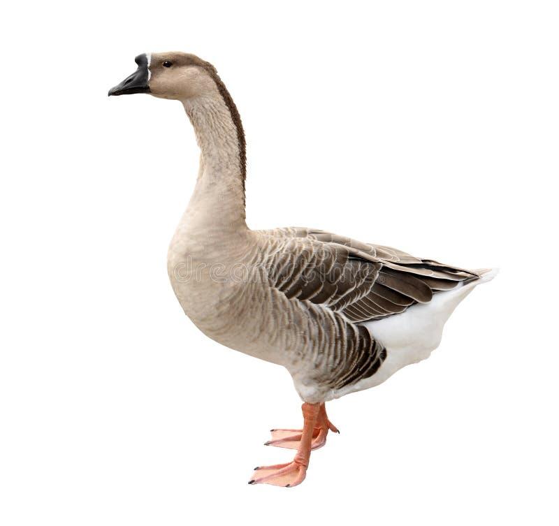 Free Domestic Goose Stock Photo - 11539790