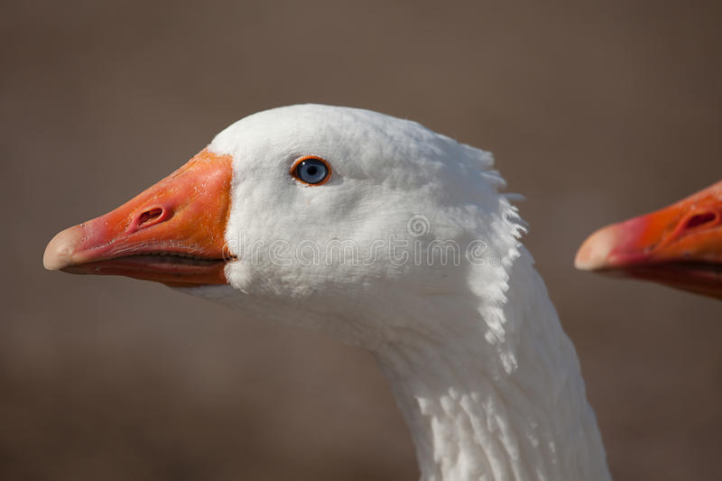 Download Domestic goose stock image. Image of agriculture, bird - 22989627
