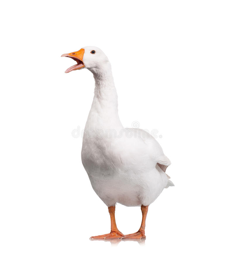 Domestic goose. White domestic goose isolated on white background royalty free stock photography