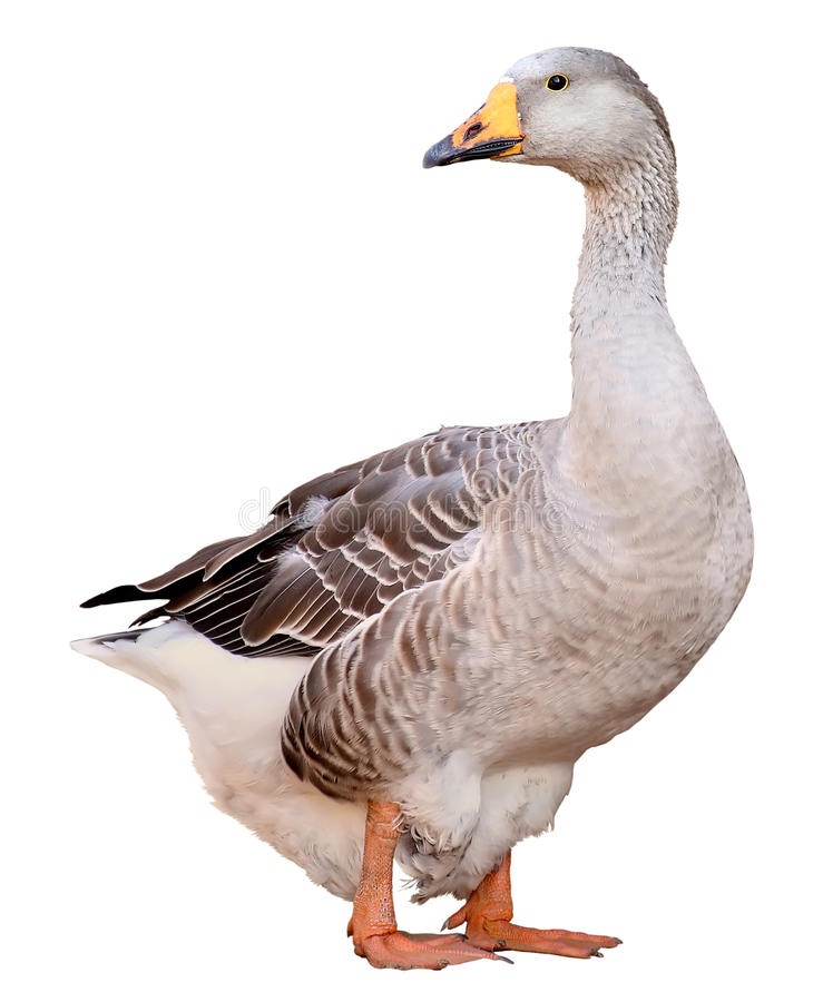 Free Domestic Goose, Anser Anser Domesticus, Isolated On White Background Stock Photo - 77823840