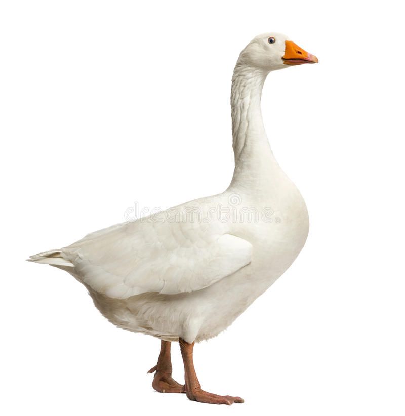 Free Domestic Goose, Anser Anser Domesticus, Standing, Isolate Stock Photo - 32488140