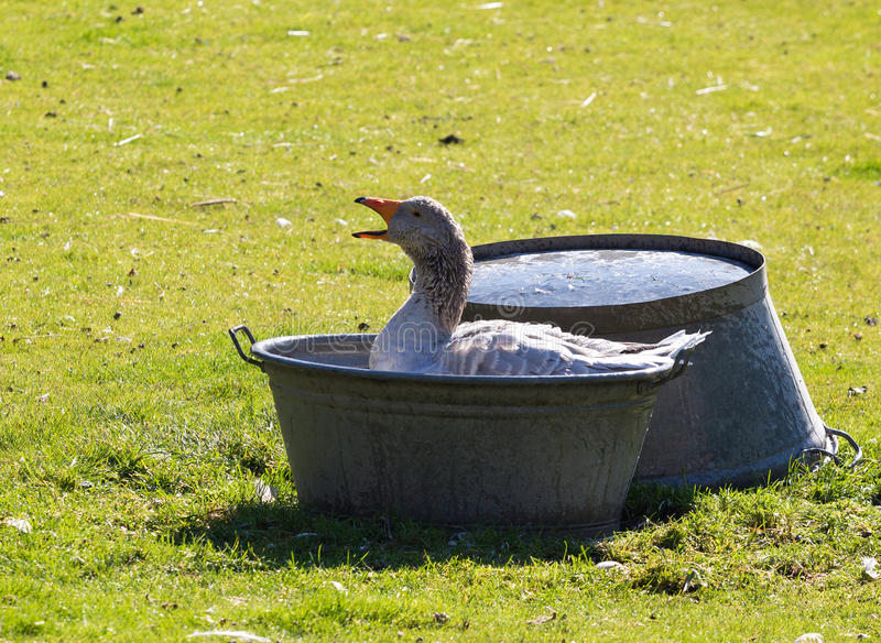 Domestic goose in a basin of water stock image