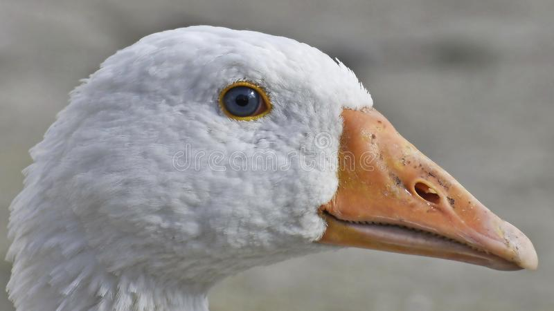 Domestic goose. Head of white domestic goose, close-up, side view, on a natural blurred backgroun royalty free stock image