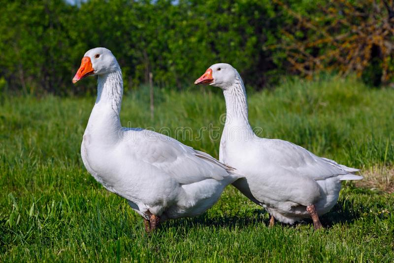 The domestic goose in the pasture eats fresh grass.  stock image