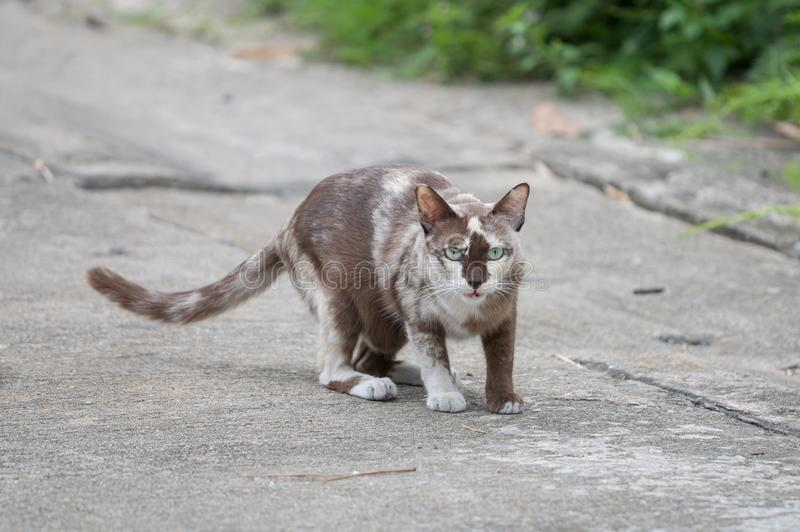 Domestic gray cat walking on concrete road. royalty free stock photo