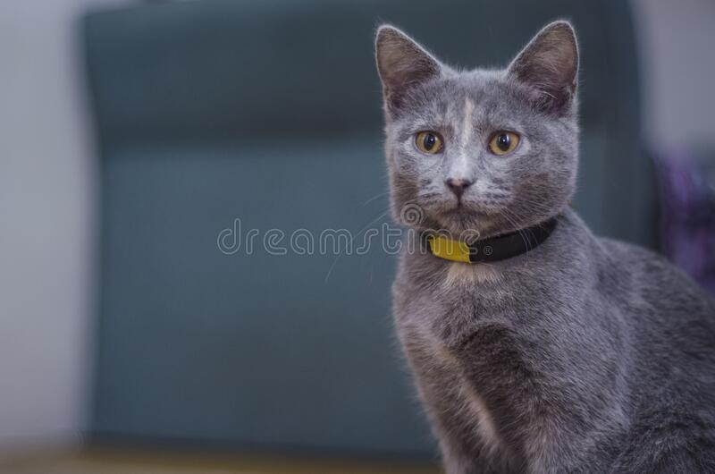 Domestic grey cat stock photos
