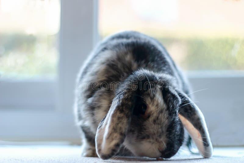 Domestic grey house rabbit. On a carpet stock image