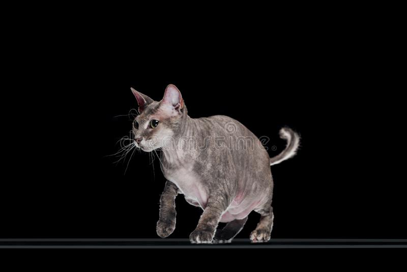 Domestic grey sphynx cat jumping. Isolated on black stock image