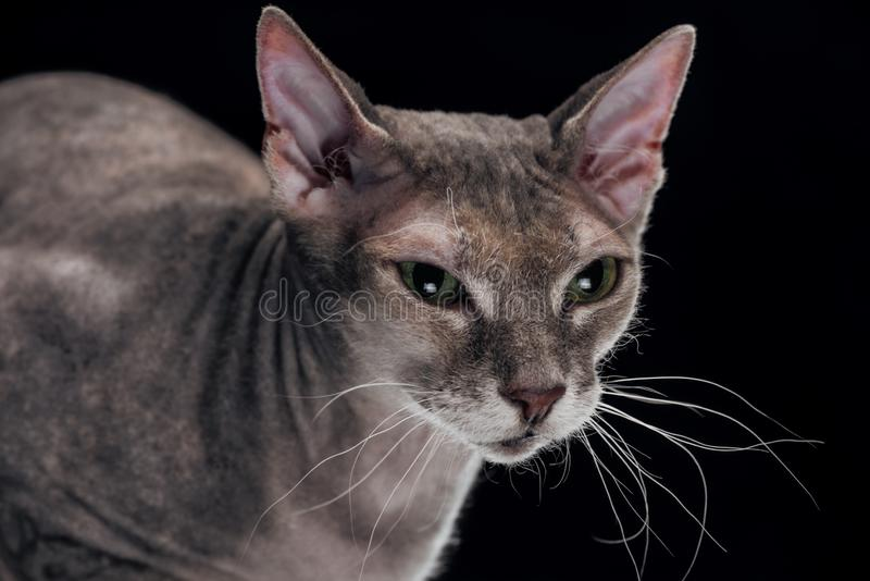Domestic grey sphynx cat looking away. Isolated on black stock images