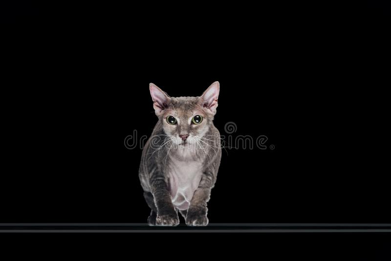 Domestic grey sphynx cat looking at camera. Isolated on black stock images