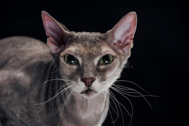 Domestic grey sphynx cat looking at camera. Isolated on black stock photos