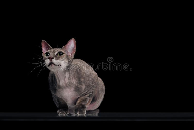 Domestic grey sphynx cat looking up. Isolated on black royalty free stock image