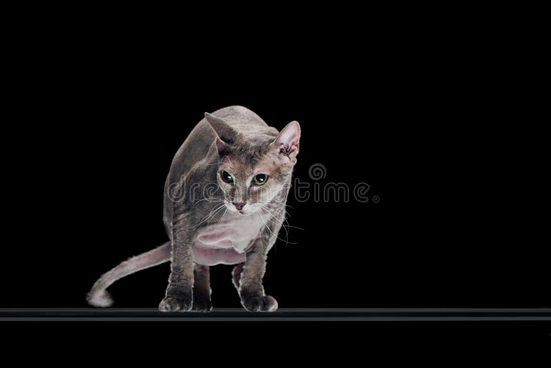 Domestic grey sphynx cat moving and looking away. Isolated on black royalty free stock images