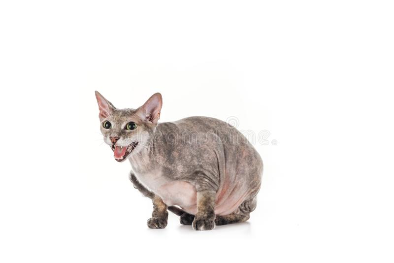 Domestic grey sphynx cat sitting and meowing. Isolated on white royalty free stock photography