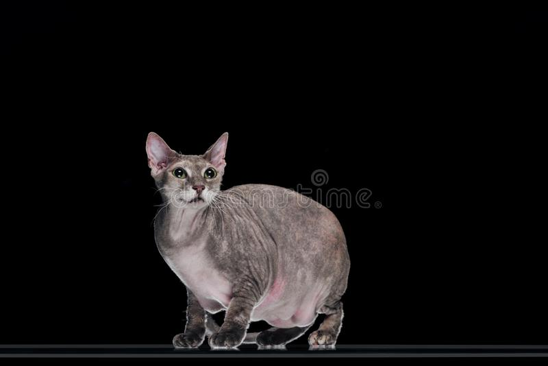 Domestic grey sphynx cat standing and looking up. Isolated on black stock photo
