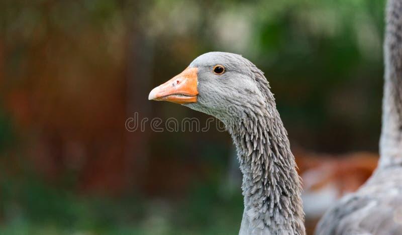 Domestic Greylag goose - big bird on a hobby farm in Ontario, Canada. stock image