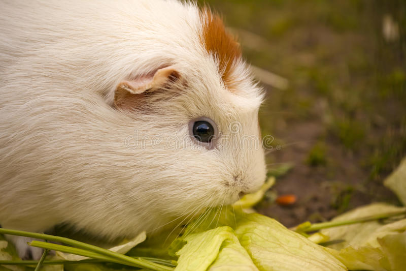 Domestic guinea pig / Cavia porcellus eating salat royalty free stock photos