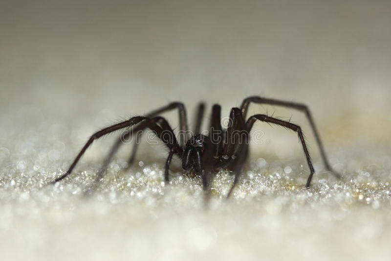 Download Domestic House Spider Royalty Free Stock Images - Image: 13404579