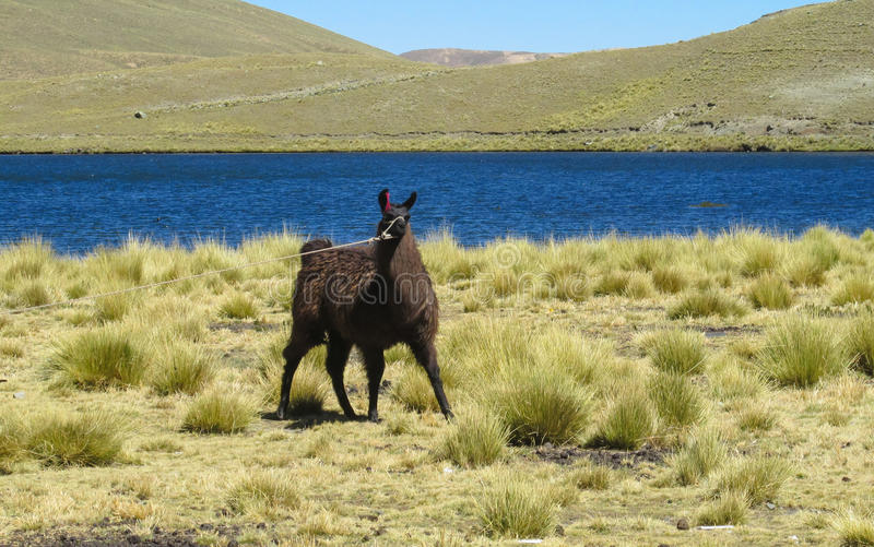 Domestic lama. In the Andes altiplano mountains near lake stock photo