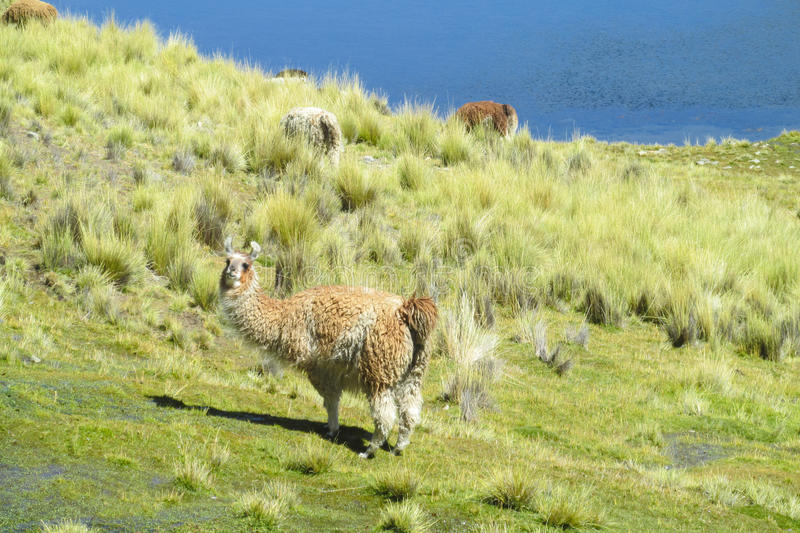 Domestic lama. In the Andes altiplano mountains near lake stock photos