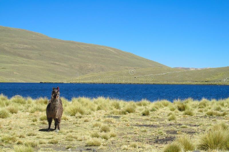 Domestic lama near altiplano lake stock photos