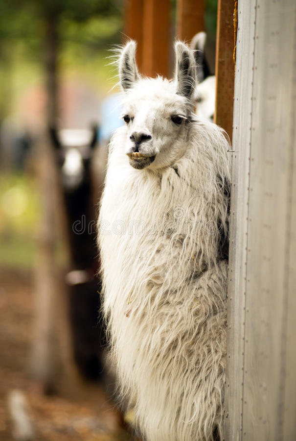 Domestic Llama Eating Hay Farm Livestock Animals Alpaca. A unique looking Llama pauses to look at the camera while taking the morning feeding royalty free stock images