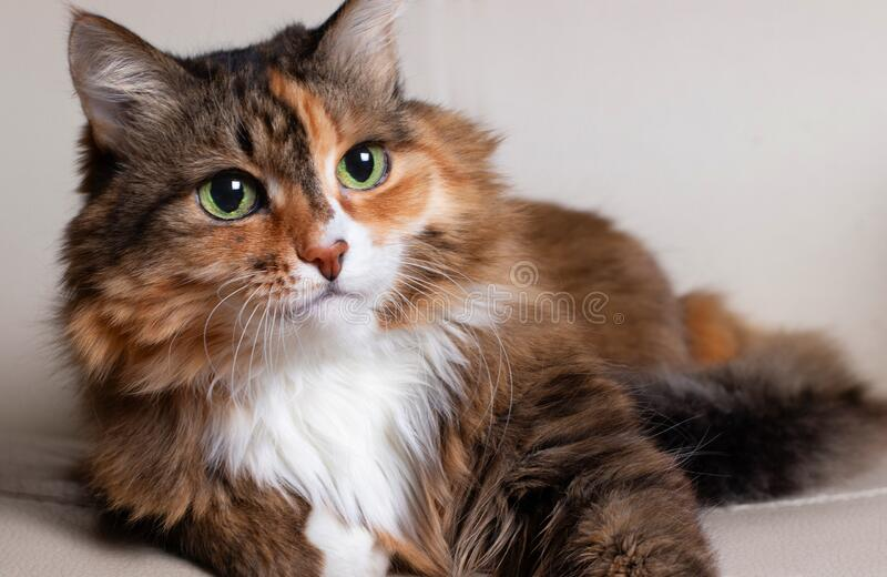 Domestic Long Hair Cat. Close-up of a red cat looking at the camera. A beautiful old cat with green, intelligent eyes. The cat`s. Coat is tricolored: white, red stock image