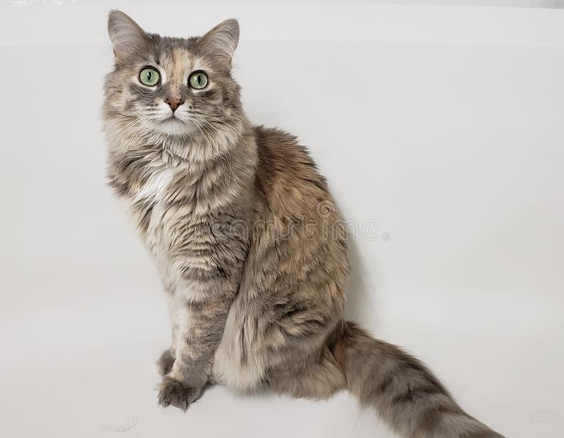 Domestic Long Haired Tabby Cat. Sitting against a white background royalty free stock photo