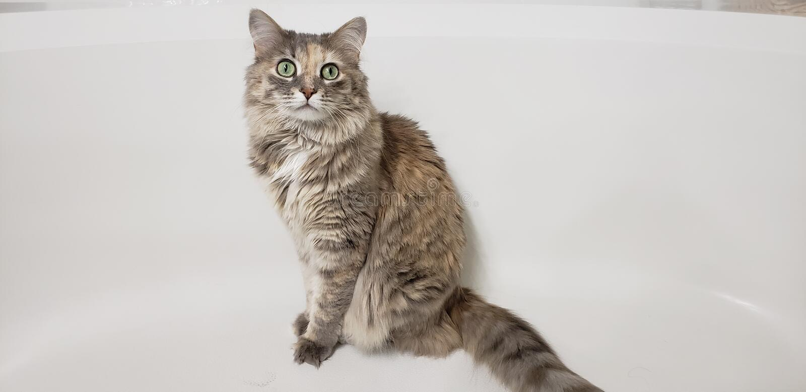 Domestic Long Haired Tabby Cat. Sitting against a white background furry fur long tail royalty free stock photo