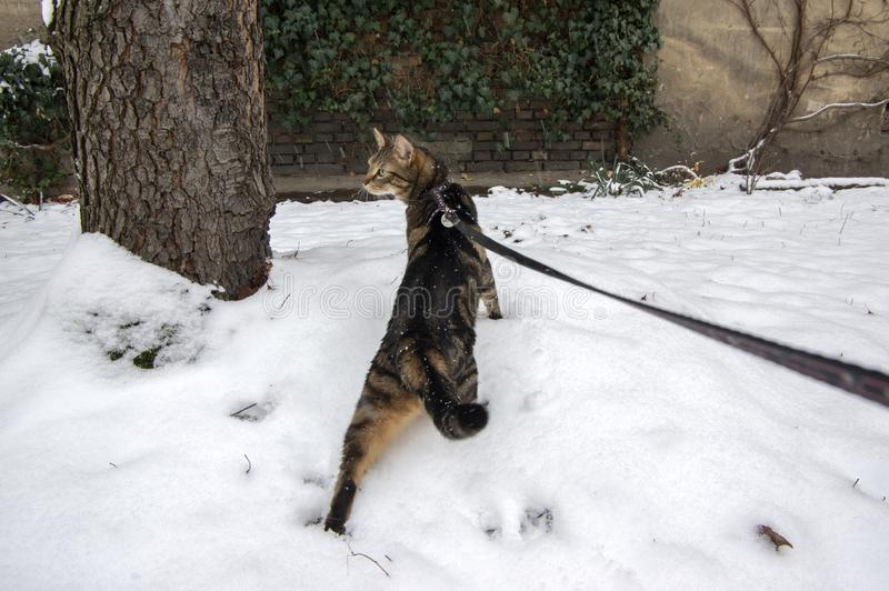 Domestic marble cat on black leash in the snow, walking the cat, funny scene royalty free stock image