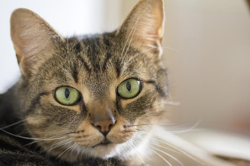 Domestic marble cat portrait, eye contact, cute kitty face. Serious expression royalty free stock photography