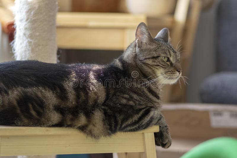Domestic marble cat sitting on wooden stool, cute kitty face, amazing lime eyes stock image