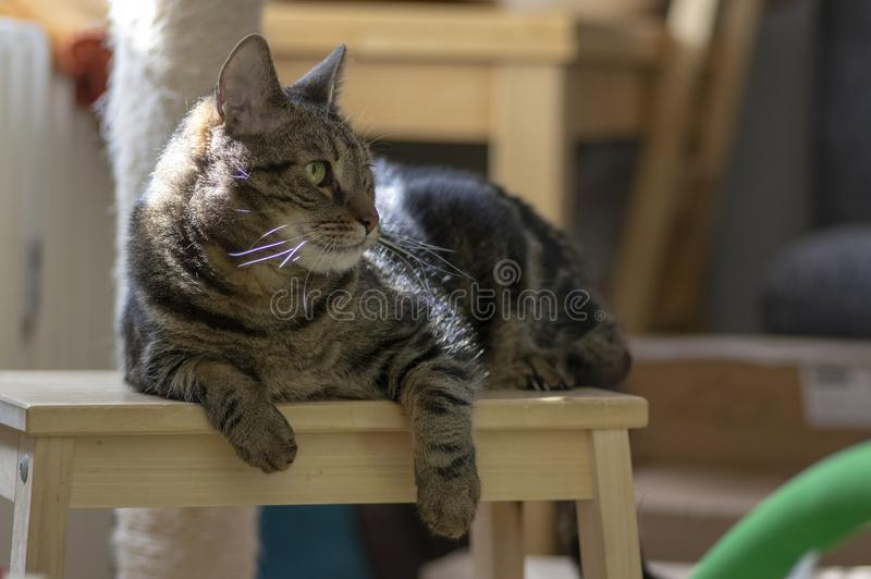 Domestic marble cat sitting on wooden stool, cute kitty face, amazing lime eyes stock photo