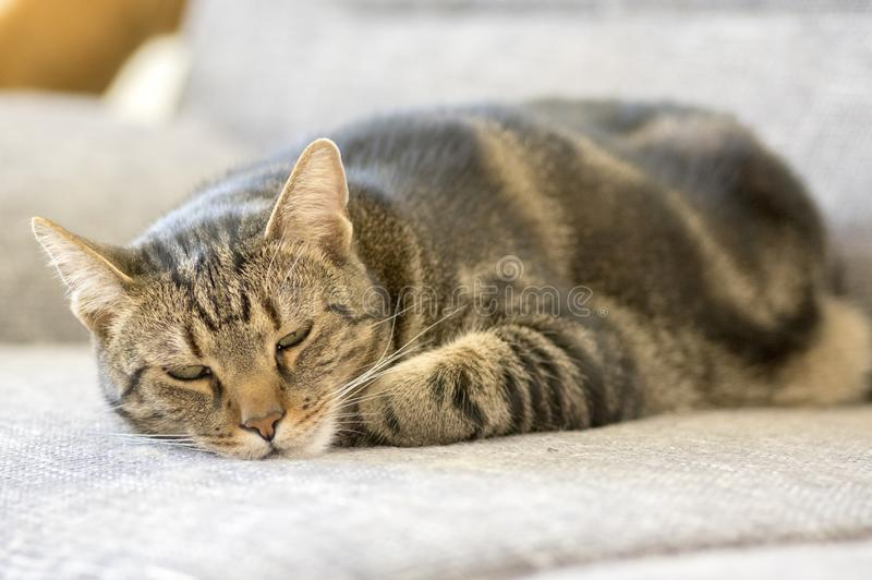 Domestic marble cat trying to fall asleep, eye contact, cute kitty face stock photography