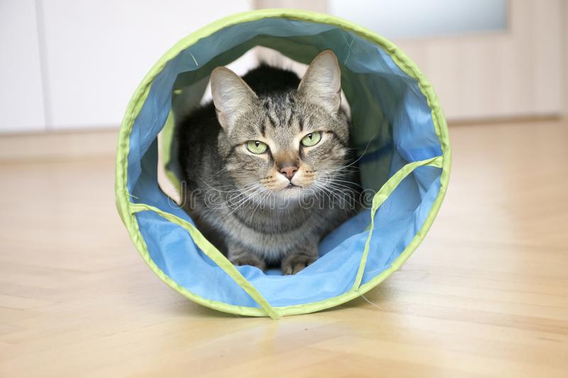 Domestic marble tiger cat lurking in blue and grey cat tunnel, eye contact. Comical pet stock image