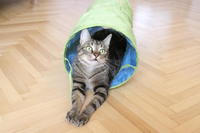 Domestic marble tiger cat lurking in blue and grey cat tunnel, eye contact. Comical pet royalty free stock photo