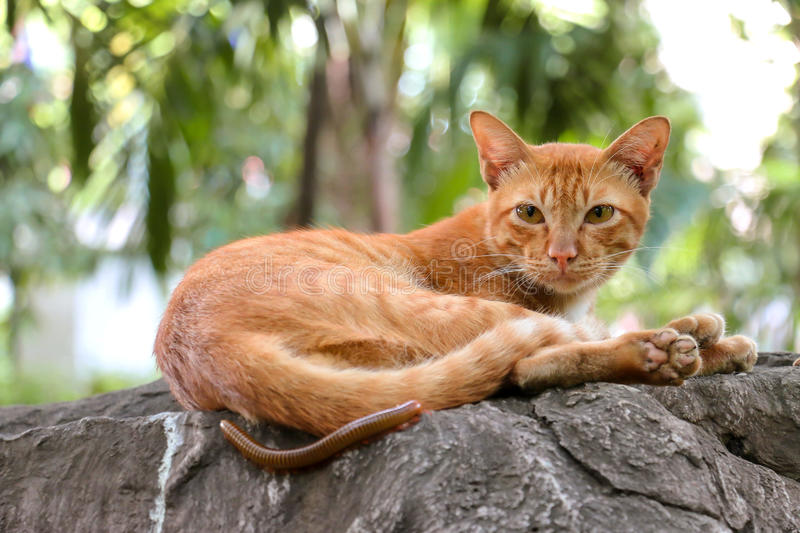Domestic orange cat outdoors is Sleepy with millipede stock images
